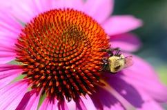 La cabeza de flor del cono con manosea la abeja Fotos de archivo libres de regalías