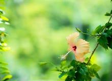La cabeza de flor del hibisco del melocotón en verde empañó el fondo Imagen de archivo