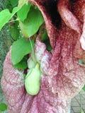 La cabeza de flor de la planta del gigantea del Aristolochia Foto de archivo