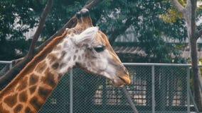 La cabeza de la jirafa en el parque zoológico camina alrededor del recinto Cámara lenta tailandia Pattaya almacen de video