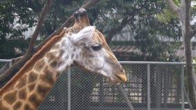 La cabeza de la jirafa en el parque zoológico camina alrededor del recinto Cámara lenta tailandia Pattaya metrajes