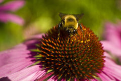 La cabeza de la abeja encendido se sienta en la taza del cierre de la flor del Echinacea Foto de archivo libre de regalías