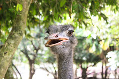 La cabeza de la avestruz del retrato del primer Fotografía de archivo libre de regalías