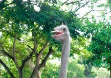 La cabeza de la avestruz en bosque Fotos de archivo