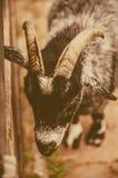 La cabeza de la cabra del primer Imagen de archivo libre de regalías