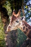 La cabeza de la jirafa en árboles Fotos de archivo libres de regalías