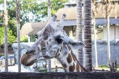 La cabeza de la jirafa en un parque zoológico Fotos de archivo