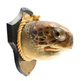 La cabeza de la tortuga como trofeo de un cazador fotos de archivo