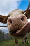 La cabeza de la vaca divertida con la lengua larga fotografía de archivo