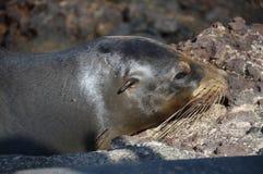 La cabeza de Liondel mar del bebé de las Islas Galápagos Foto de archivo libre de regalías