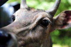 La cabeza de los ciervos está mirando en la ventanilla del coche foto de archivo libre de regalías
