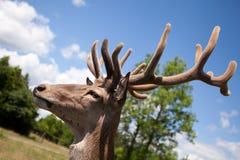 La cabeza de los ciervos jovenes en un safari de Parc Fotos de archivo