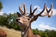 La cabeza de los ciervos jovenes en un safari de Parc Imagen de archivo libre de regalías