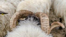 La cabeza de ovejas se destaca en la multitud de ovejas con énfasis sobre sus cuernos fotografía de archivo