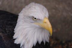 La cabeza de un águila foto de archivo
