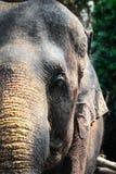 La cabeza de un elefante Imagenes de archivo