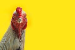 La cabeza de un gallo Imagenes de archivo