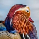La cabeza de un pato de mandarín imagenes de archivo