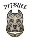 La cabeza de un pitbull con una cadena Fotografía de archivo libre de regalías