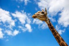 La cabeza de una jirafa contra el cielo fotos de archivo libres de regalías