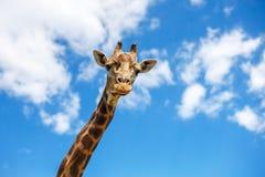 La cabeza de una jirafa contra el cielo imagen de archivo