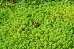 La cabeza de una rana en una hierba Imagenes de archivo