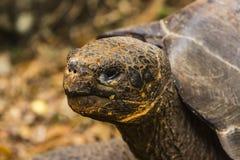 La cabeza de una tortuga gigante Fotografía de archivo libre de regalías