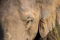 La cabeza del elefante con los oídos grandes y el ojo detallan la foto Fotografía de archivo
