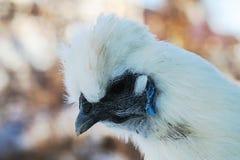 La cabeza es primer de seda blanco del pollo Imagen de archivo