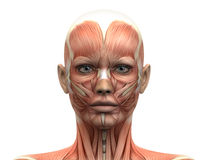 La cabeza femenina Muscles la anatomía - vista delantera Foto de archivo libre de regalías