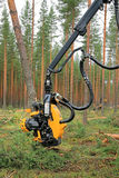 La cabeza H6 de la máquina segador de Ponsse corta un árbol de pino Imágenes de archivo libres de regalías