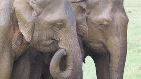 La cabeza se cierra para arriba de elefantes en el parque nacional de Minneriya fotografía de archivo
