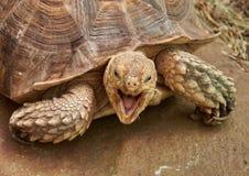 La cabeza y la parte de la tortuga estimulada africana de la cáscara fotografía de archivo
