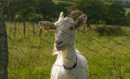 La cabra Imágenes de archivo libres de regalías