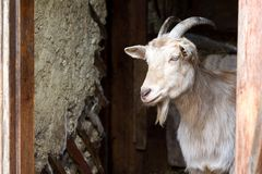 La cabra blanca adulta con los cuernos torcidos mira fuera de las puertas del granero, vida en la granja fotos de archivo libres de regalías