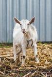 La cabra blanca en el pueblo en un campo de maíz, cabra en hierba del otoño, cabra coloca y mira la cámara Foto de archivo