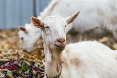 La cabra blanca en el pueblo en un campo de maíz, cabra en la hierba del otoño, cabeza de la cabra mira la cámara Foto de archivo