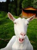 La cabra blanca se queja imagenes de archivo