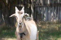La cabra blanca y beige pasta en el prado Foto de archivo