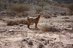 La cabra con el pelo de oro: Wadi Shab, Omán Imágenes de archivo libres de regalías
