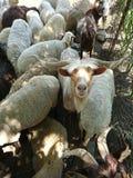 La cabra con los cuernos largos y las ovejas Imagen de archivo libre de regalías