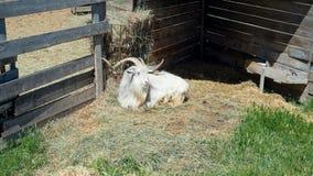 La cabra de cuernos come el heno detrás de la cerca de madera de la granja Fotos de archivo