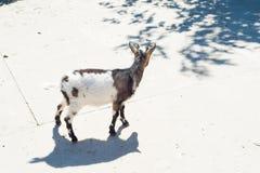 La cabra de cuernos come el heno detrás de la cerca de madera de la granja Imagen de archivo libre de regalías