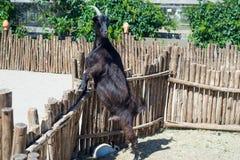 La cabra de cuernos come el heno detrás de la cerca de madera de la granja Fotos de archivo libres de regalías