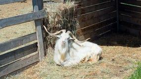 La cabra de cuernos come el heno detrás de la cerca de madera de la granja Fotografía de archivo libre de regalías