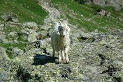 La cabra de montaña se coloca en una piedra Fotos de archivo