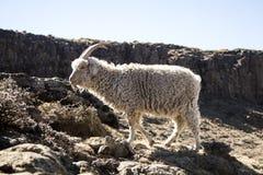 La cabra del angora está alimentando en las montañas de Maluti, Drakensberg, Lesotho Fotos de archivo libres de regalías