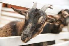 La cabra deslizó su cabeza a través de la cerca foto de archivo libre de regalías