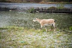 La cabra en el campo fotos de archivo
