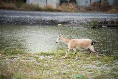 La cabra en el campo imagenes de archivo